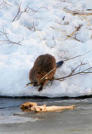 Bävern har fyllda förråd under isen och kan ta det lugnt i boet under vintern, men går också gärna ut i milt väder och tar en färsk kvist.