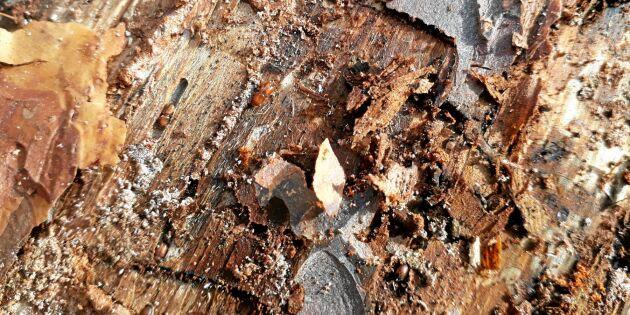 Torkan gav nytt liv åt utrotad art av barkborre