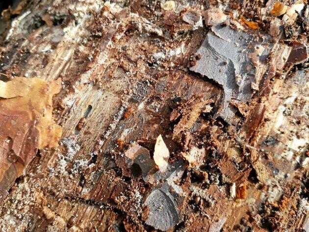 Skarptandade barkborrar i fullt födosöksgnag.