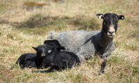 KLS Ugglarps börjar slakta lamm på Gotland