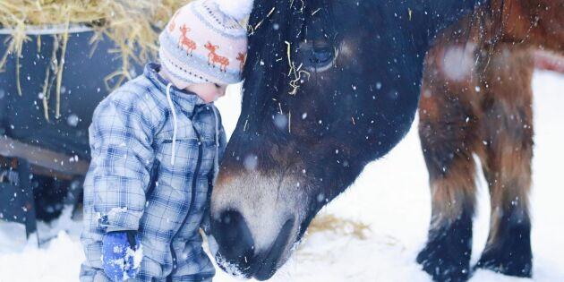 Se när 1,5-åriga Lo leder sin jättestora nordsvenska häst!