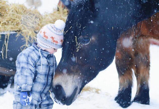 Lilla Lo, 1,5 år i jämtländska Järpen älskar det stora nordsvenska stoet Älvan!