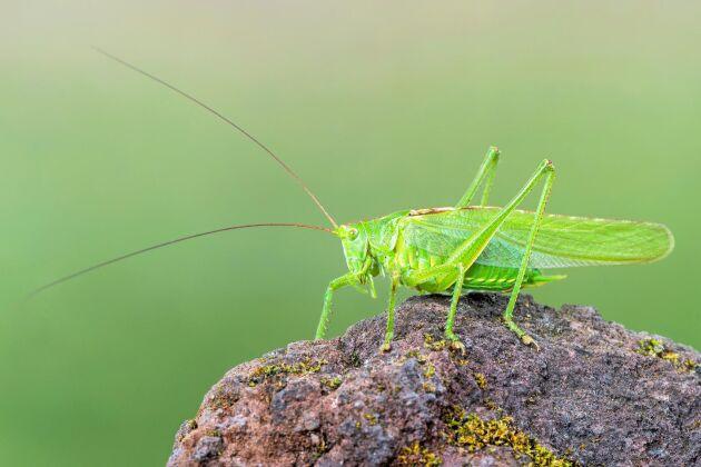 Grön vårtbitare är upptäckt och klar. Den har varit känd länge. Men den har tusentals släktingar bland insekterna som forskarna bara anar att de finns.