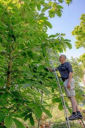 Hjärtmagnolia blir ett stort träd med gigantiska blad.