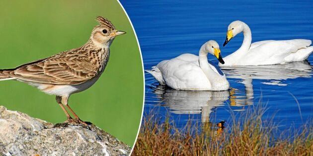 Fem tidiga vårfåglar – vilka känner du igen?