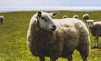 Räddade får - misstänktes för djurplågeri