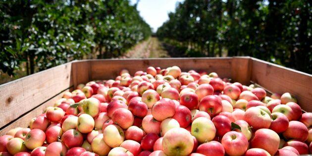Det svenska äpplet vinner mark