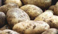 Potatis plockas till chips