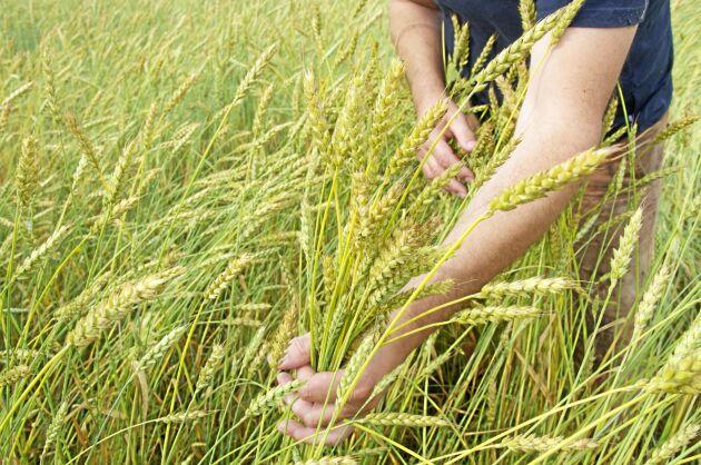 En ny studie visar på potentialen i att förena hög avkastning på vete och ris med ett minskat behov av konstgödsling.