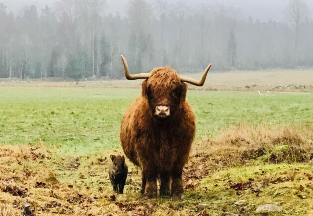 Tanken var att dessa nyinköpta highland cattle skulle flyttas för att röja upp på en annan av familjens gårdar. Men när Pumba anslöt till gruppen flyttades istället vindskydd och foderhäck till deras nuvarande bete.