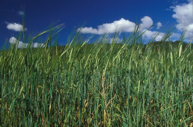 Som växtagronom kan man arbeta till exempel som odlingsrådgivare.