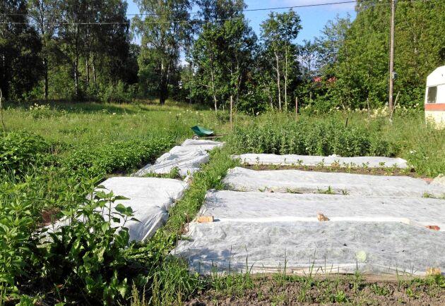 Odlingarna räcker till att fylla Henriks husbehov av grönsaker. Ofta blir det även tillräckligt stor skörd för att kunna dela med sig till andra.