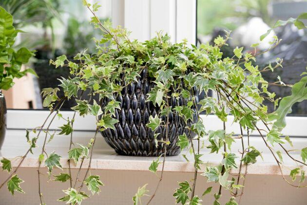 Har din murgröna helgröna blad gillar den skugga. Ju ljusare blad, desto mer ljus vill den ha.