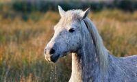 Vaccin ska stoppa plågsam hästsjukdom