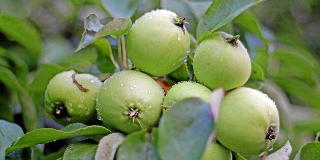 Så gallrar du äppelkarten – för att maximera skörden