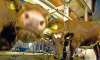 Köttraserna som ger lättare kalvningar