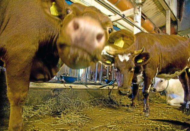 Vilka raser ska man välja för att få lätta kalvningar för sina mjölkkor? Och hur blir det med tillväxt och slaktvikt då? Det har agronomstudenterna Elin Jonsson och Patricia Gullstrand tittat på.