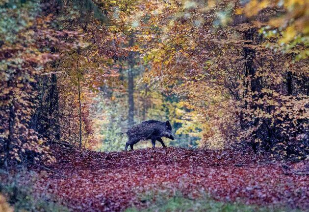 Jägarnas riksförbund och Svenska jägareförbundet har en del frågetecken vad gäller Livsmedelsverkets rapport om hanteringen av vildsvin. Arkivbild.