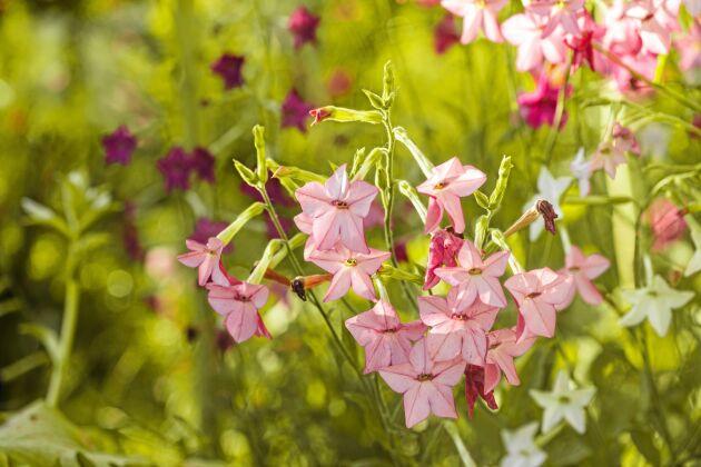 Blomstertobak behöver plats för att trivas.