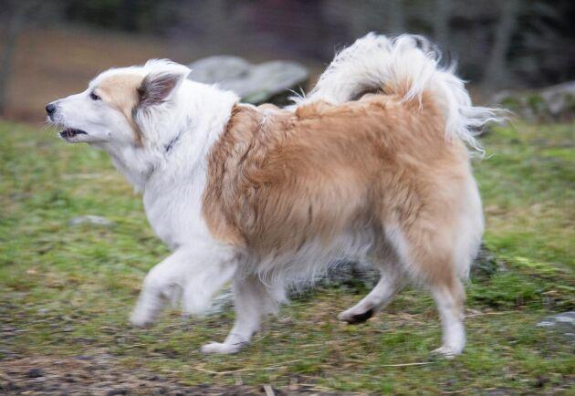 Isländska fårhunden Flisa.