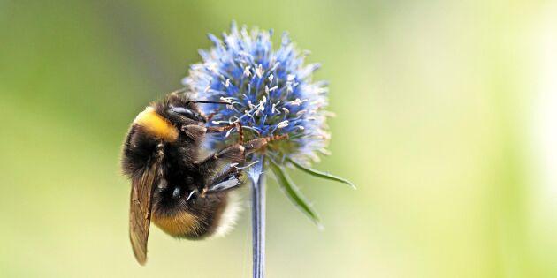 Halmbalar som boplatser åt humlor och bin