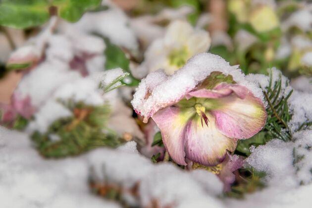 Julrosen blommar i snön, om den känner sig hemma.