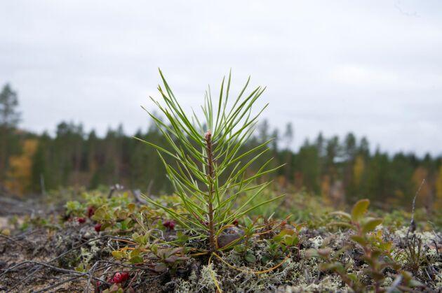 Contortaplanta på en föryngring i Västerbotten.