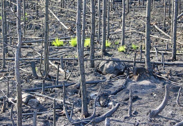 Bara ett par månader efter den stora branden i Västmanland började de första gröna stråna växa upp ur askan.