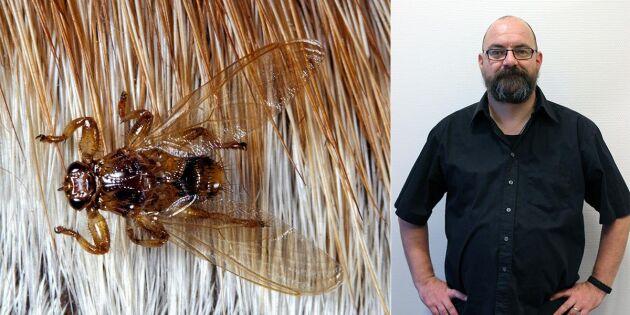 Färre älgflugor än fjol – torkan trolig orsak
