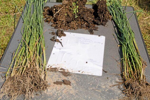 Här jämförs rotsystemen på plantor som vuxit i jord som berikats med mikroorganismer och några som inte gjort det.