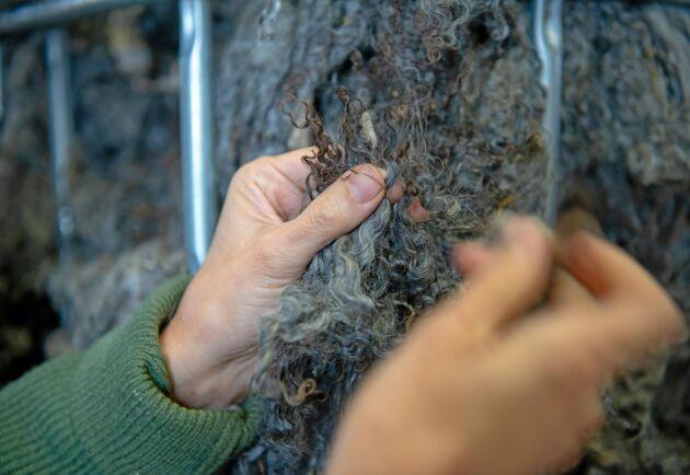 Den glansiga, silvriga ullen från gotlandsfåret är svår att hantera i maskiner industriellt. Ett stort lager tvättad ull väntar på maskiner som ska klara det.