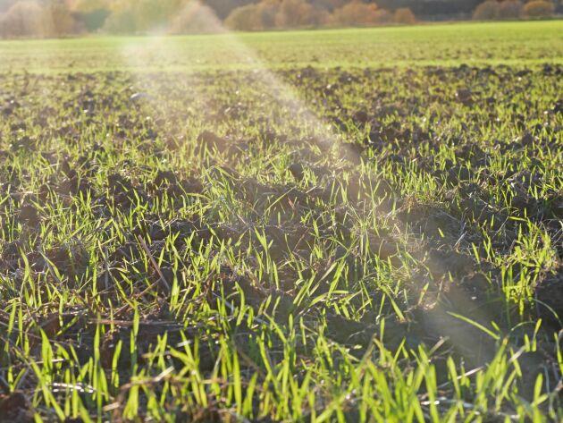 Den totala höstsådden av spannmål och oljeväxter uppgår till 588500 hektar i år.