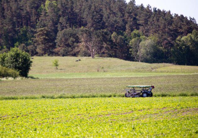 Helt självgående sköter roboten ogräsbekämpningen i de ekologiska sockerbetorna.