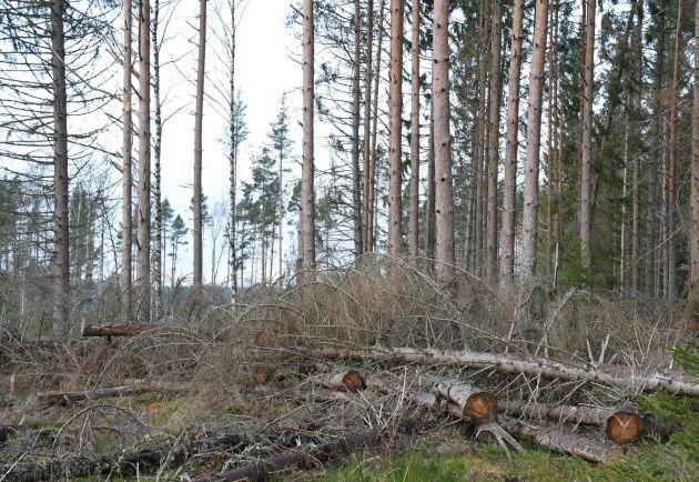 Hittills har AB Karl Hedin avverkat 400 hektar och 100000 kubikmeter barkborreangripen skog i anslutning till brandreservatet i Västmanland.