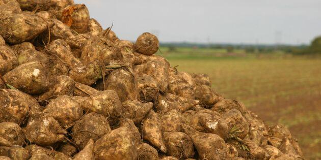 Ny dom: Betodlare får inte dispens för växtskyddsmedel