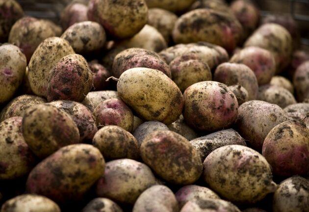 Frost och torka är något som drabbar potatisbönderna i norr. Arkivbild.
