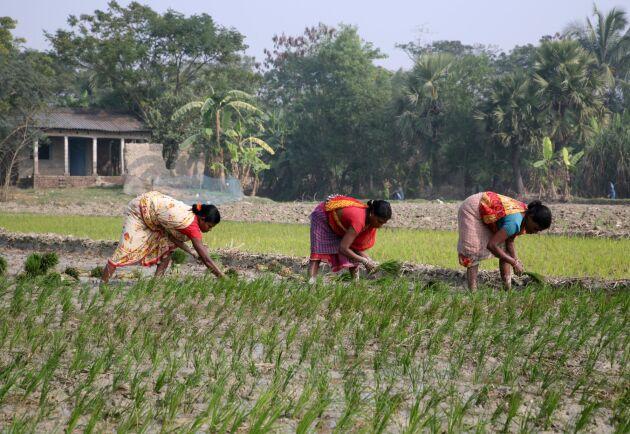 Risfält i Västbengalen, Indien. Genrebild.