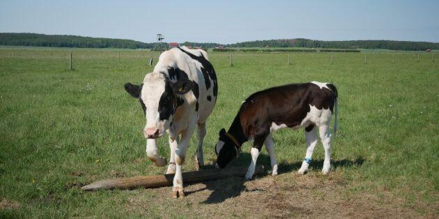 Biokol kan ge mer betalt för mjölkgårdar