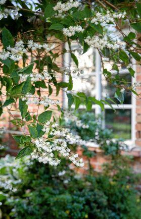 Den alltför ovanliga busken deutzia flirtar med sina vippor av rufsiga små blommor. Thomas högvuxna buske blommar i vitt under juni-juli.
