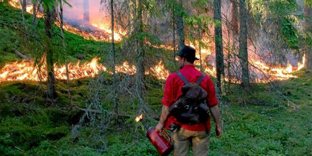 Skogen bränns för att få nytt liv