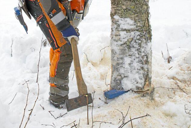 Därefter är stammen lös och det räcker med ett slag med yxan på kilen så faller trädet.