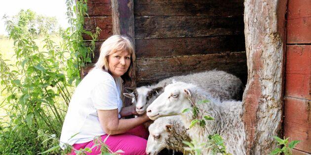 Ull-experten: Inte konstigt att svensk ull slängs