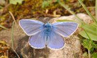 Nu ska danska fjärilar räddas