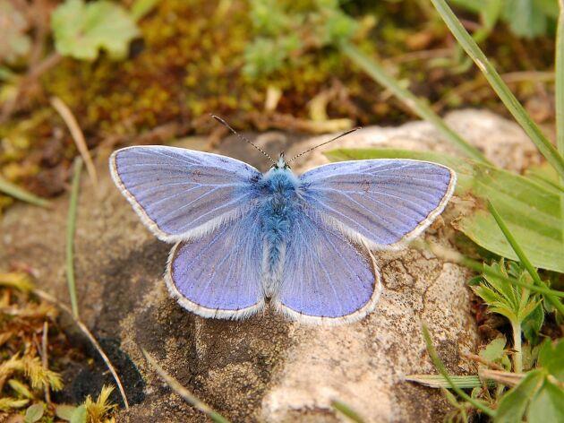 Puktörneblåvinge är en fjäril som gillar ärtväxter
