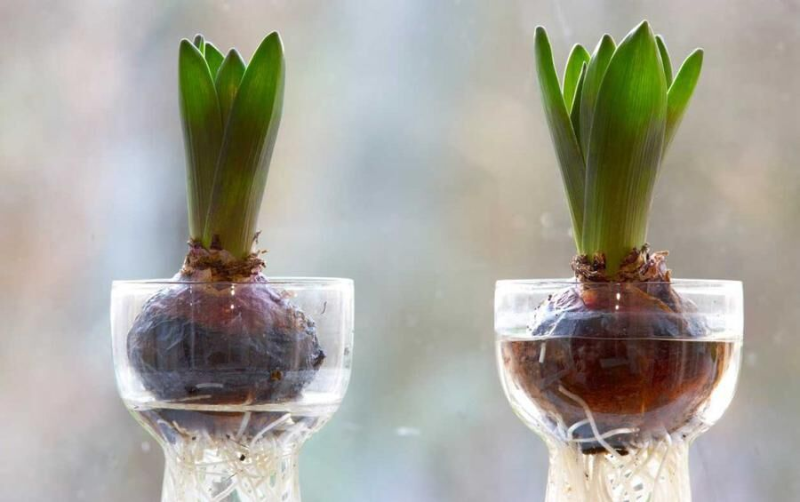 Fint att odla hyacint i glas.