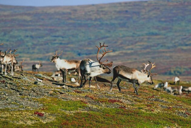 Smittskyddet mot CWD i Norge får mer pengar