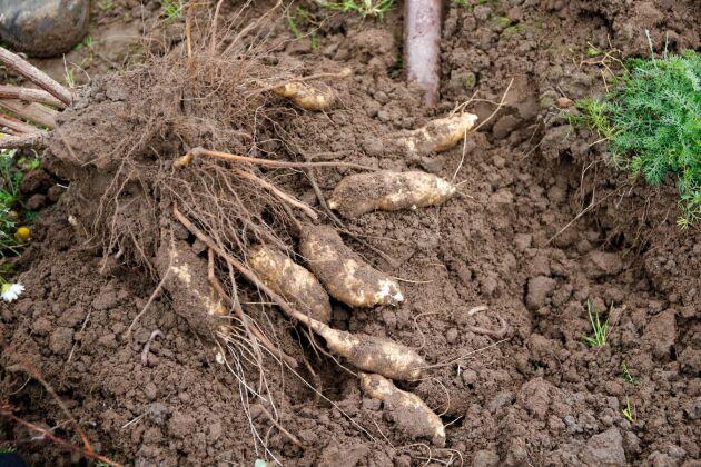 Kullasparris odlar mer än ekologisk sparris. Här odlas även grönkål, svartkål, spetskål, brysselkål, mangold, bondbönor, skärbönor, vaxbönor, purjolök, gul lök, röd lök, vitlök, bladpersilja, zucchini, matpumpor, sockermajs, jordärtskockor, hösthallon och svarta vinbär.