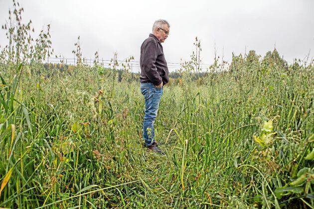 Jan-Erik Sundström får sina havrefält nedtrampade av kronhjortarna.
