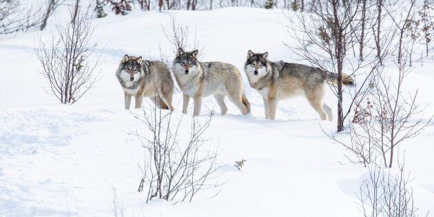 Norska regeringen: Vargflock inom vargzonen får skjutas