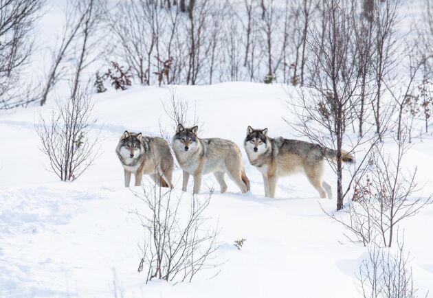 Norska regeringen ger klartecken för den första jakten hittills inne i vargzonen – men bara en flock får skjutas.